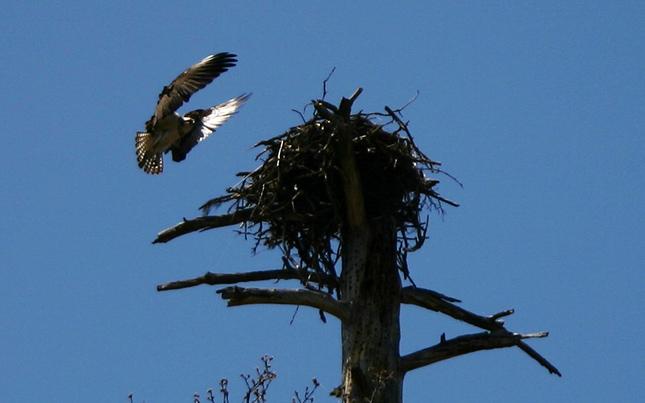 Hawk Landing in Nest Baum Lake
